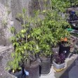 tomato in recycled pots