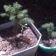 enchated baby pine kids